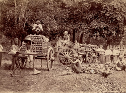 [Loading harvested pineapples onto carts, Burma.]